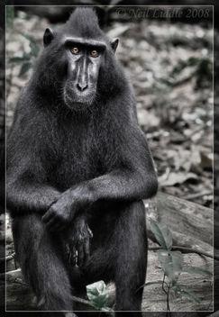Casual Macaque - Kostenloses image #279537