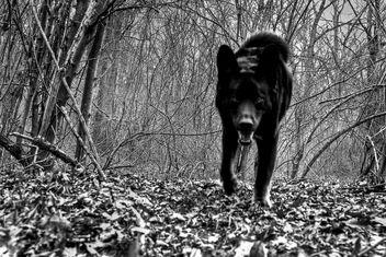 Rare New Jersey Black Wolf - Free image #279577