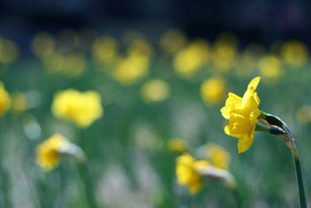 field of daffodils - Free image #279637