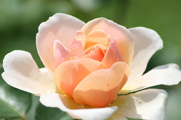 Peach rose & drops - image gratuit #280127