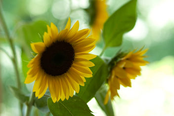 sunflowers from the farmer's market - Free image #280197
