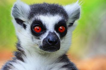 lemur - image #280397 gratis