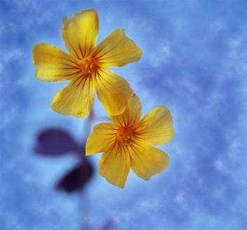 Amarillas Minimas - Kostenloses image #280467