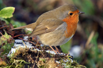 Robin in the snow, Martin Mere, January 2010 - image gratuit #280857