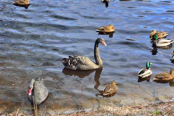 Black swans - Free image #280957