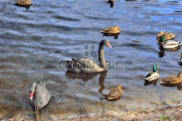 Черные лебеди - бесплатный image #280957