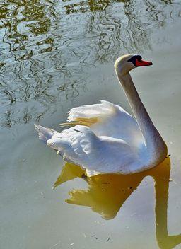 White swan - image #280967 gratis