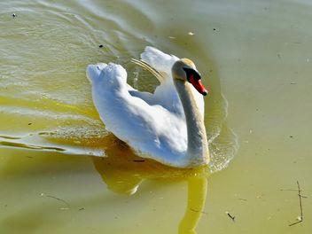 White swan - Kostenloses image #280977