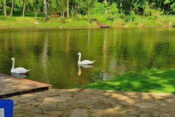 White swans - image gratuit #280987