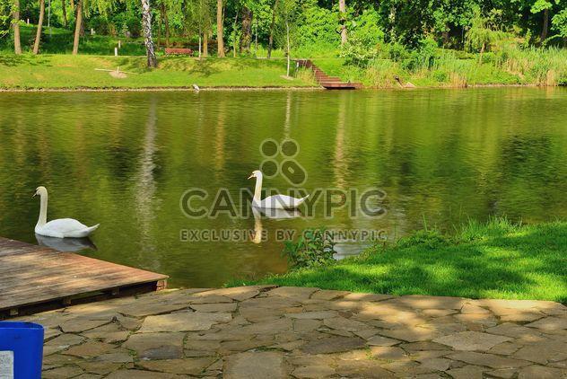 White swans - Free image #280987