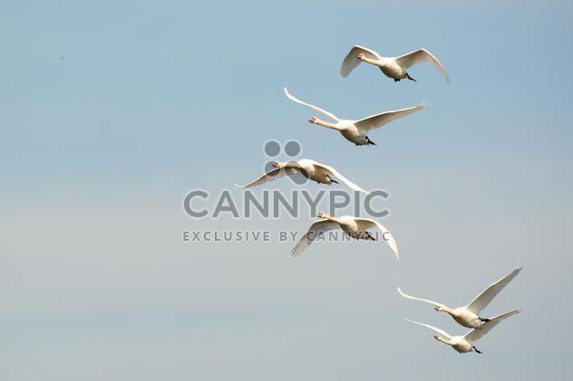 Weiße Schwäne fliegen - Kostenloses image #280997
