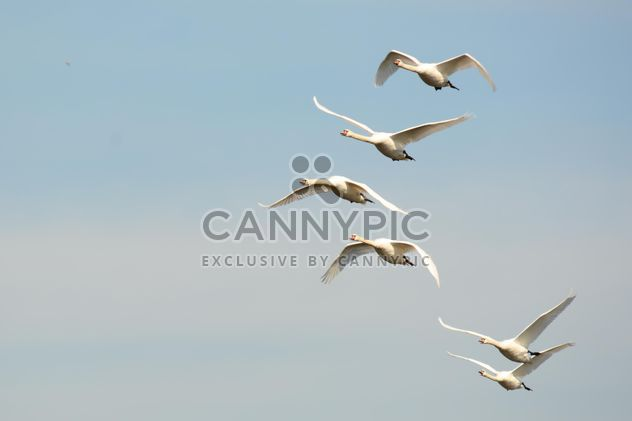 White swans flying - Free image #280997