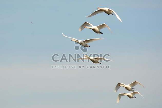 Swans flying high - Free image #281037