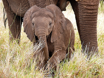 Baby Elephant ! - Kostenloses image #281127