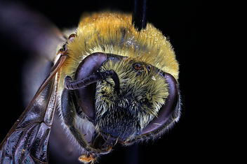 Colletes_speculiferus, female,_face_clean - Free image #281467