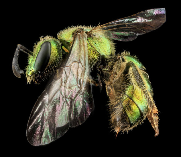 Augochlorella aurata, F, Side, MD, Boonsboro_2013-07-01-15.12.41 ZS PMax - Free image #281837