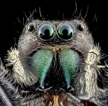 Phidippus clarus, U, Face Redo, PG County_2013-07-30-16.53.20 ZS PMax - Free image #281907