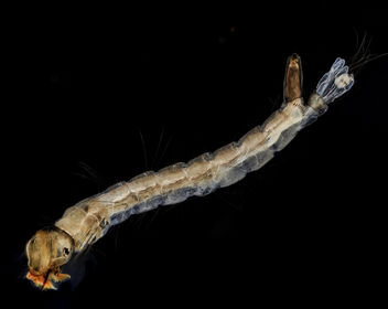 Fresh Mosquito larvae_2013-09-15-17.02.49 ZS PMax - Free image #282007