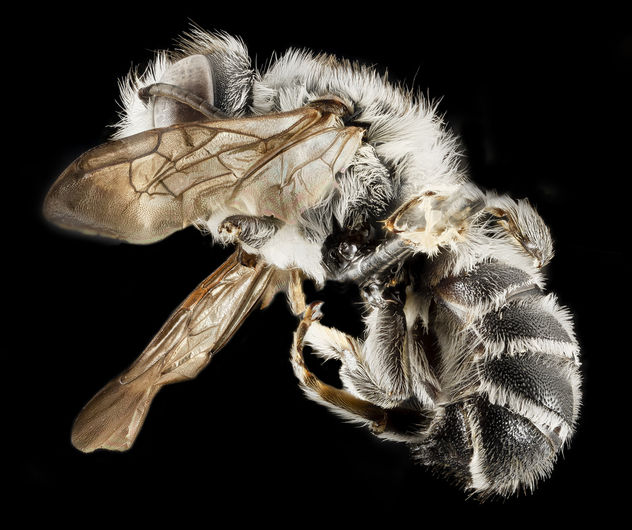 Megachile frugalis, M, Side, Pg County, MD_2014-01-30-11.22.52 ZS PMax - image #282507 gratis