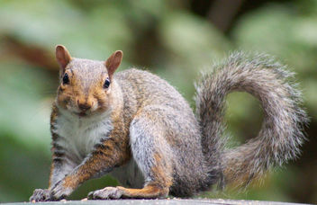 Squirrel - Free image #282517