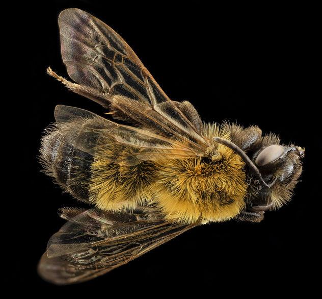 Andrena milwaukeensis, F, back, Hancock co., Brooklin_2014-01-06-14.56.25 ZS PMax - Free image #282637