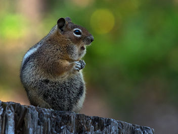 Golden-Mantled Ground Squirrel - image #282757 gratis