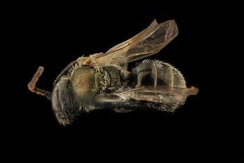 Gynandromorph, Lasioglossum hitchensi, Back, MD, St Marys County_2014-05-27-16.26.23 ZS PMax - Free image #282847