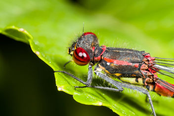 Large Red Damselfly - image #282887 gratis