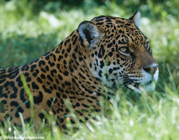 Panther at Parken Zoo, Eskilstuna, Sweden July 2014 - Free image #283047