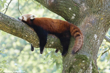 A Red Panda taking a sleep - бесплатный image #283117
