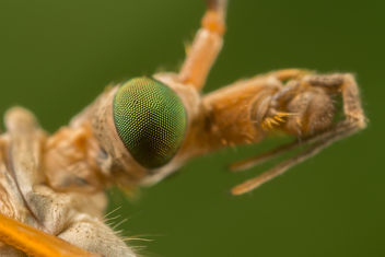 Crane Fly - бесплатный image #283287