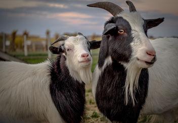 Mr. & Mrs. Goat - image gratuit #283377