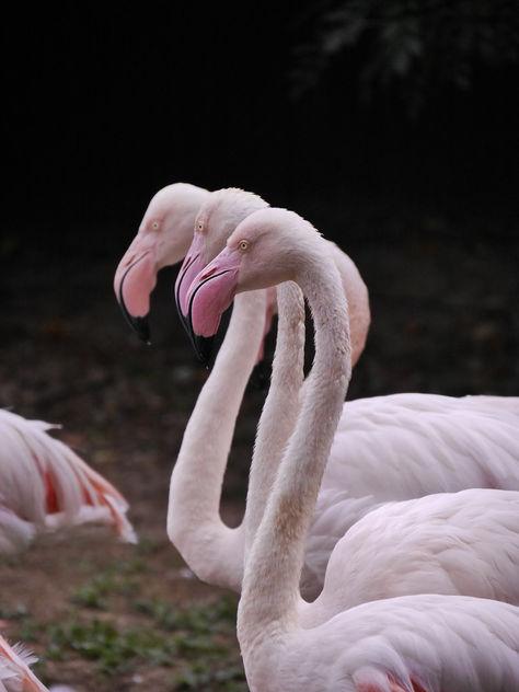 flamingos - Free image #283547
