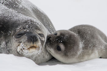 Seal Pup Kisses - Free image #283577
