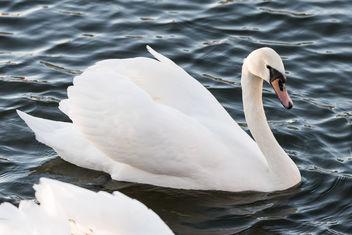 swan-8669 - Kostenloses image #283627