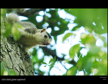 Grizzled Giant Squirrel - бесплатный image #284267