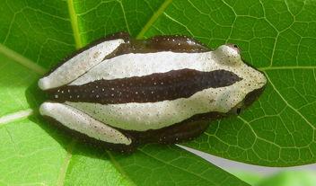 Afrixalus reed frog - Free image #284867