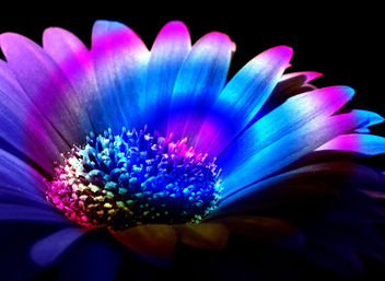 Rainbow Gerber - Free image #285397