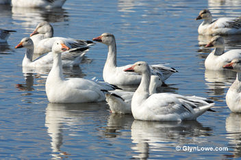 Snow Geese - Kostenloses image #286017