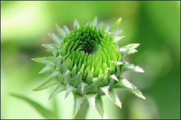 Bud of Echinacea - Free image #286547