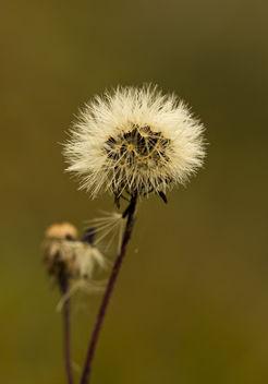 Pollen (dandelion) - Free image #286817
