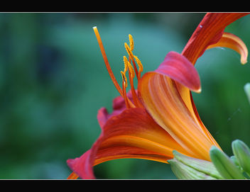 Daylily, summer memory - image gratuit #287617