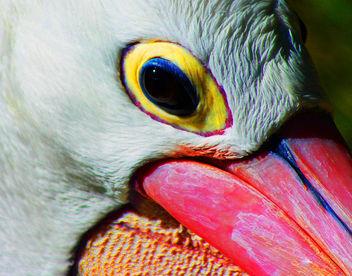 Pelican Adelaide Zoo #Dailyshoot - Free image #288077