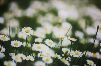 Daisies - Free image #288177