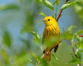 Yellow Warbler - image #288337 gratis