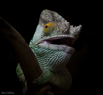 Parson's Chameleon close up - Free image #288987