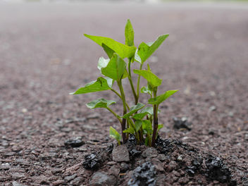 Bindweed plant breaking through asphalt 8 - P1030678 - Free image #288997