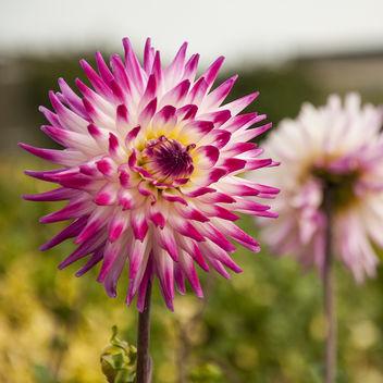 Cactus Dahlia - Kostenloses image #289037