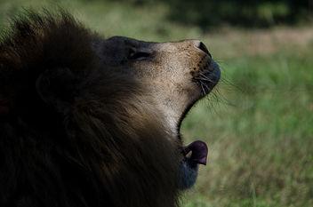Lion - Free image #289377