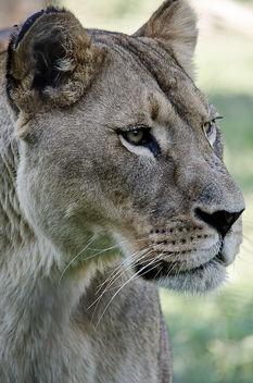 Lion - Free image #289387